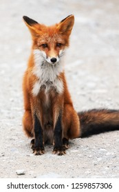 Portrait of cute wild red fox with beautiful sly eyes sitting on stones and looking at camera. Eurasia, Russian Far East, Kamchatka Peninsula.