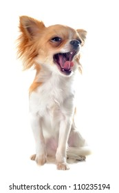 portrait of a cute yawning  puppy chihuahua in front of white background