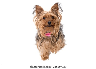 Portrait of Cute Yorkshire Terrier Dog with Pink Collar Sitting and Looking at Camera in Studio with White Background