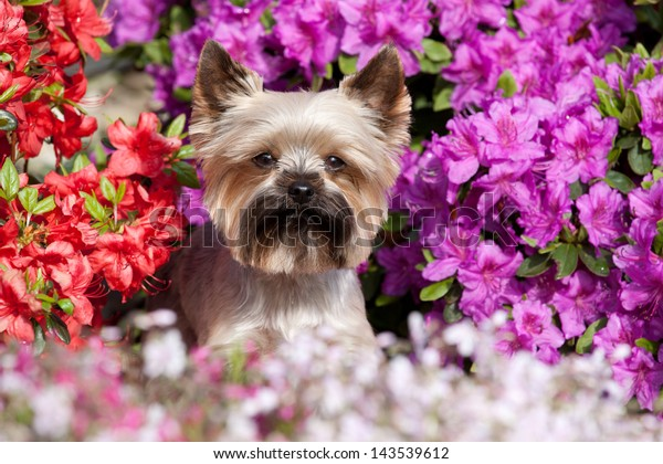Portrait of a cute Yorkshire terrier in the garden