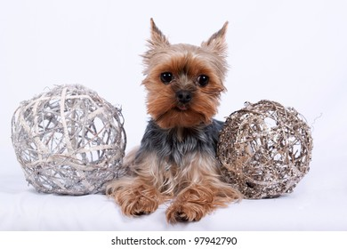 Portrait of cute yorkshire terrier on white background