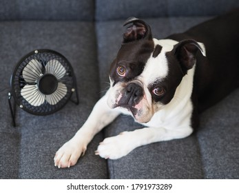 Portrait of cute young adorable black and white colored dog with a squished face lying in front of the fan. Boston terrier dog with a funny face using a ventilator because of the hot weather