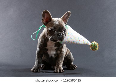Portrait of cute young French Bulldog puggy dog