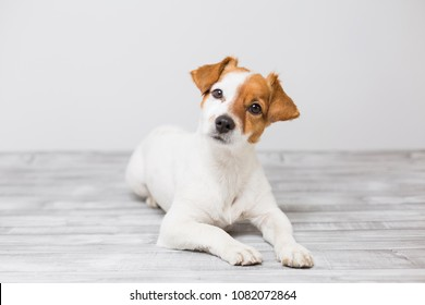portrait of a cute young small dog lying on the white wood floor, resting and looking at the camera. Pets indoors
