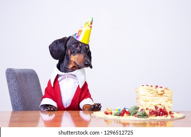 Portrait Of A Dachshund Black And Tan Looking Hungry For Happy Birthday