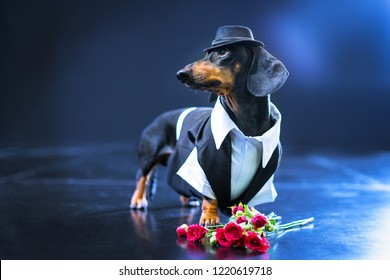 Portrait of a dachshund dog, black and tan, dressed in an elegant suit and white shirt, hat, dancer performing, with strong backlight on the stage of a theater, gets flowers from fans