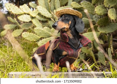Portrait dachshund dog, dressed in a red poncho and sombrero holding a pistol in her paws on a background of green cacti.