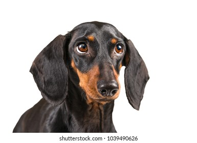 Portrait of dachshund dog with guilty expression isolated on a white background.