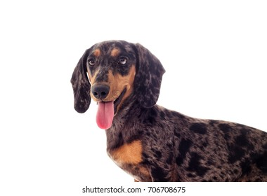 A portrait of a dachshund dog looks