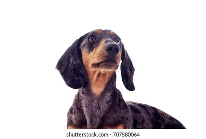A portrait of a dachshund dog looks