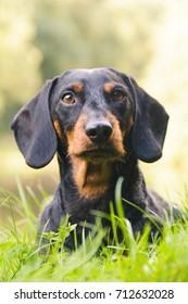 Portrait dachshund in nature