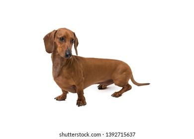 portrait of a Dachshund, sausage dog