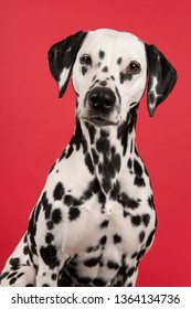 Portrait of a dalmatian dog looking at the camera on a red background