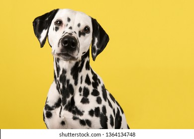 Portrait of a dalmatian dog looking at the camera on a yellow background seen from the side