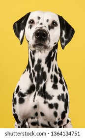 Portrait of a dalmatian dog looking at the camera on a yellow background in a vertical image