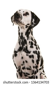 Portrait of a dalmatian dog looking up on a white background in a vertical image