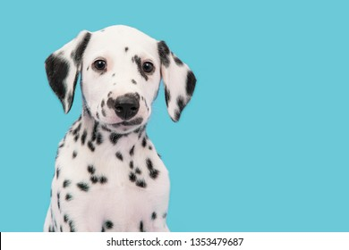 Portrait of a Dalmatian puppy looking at the camera on a blue background