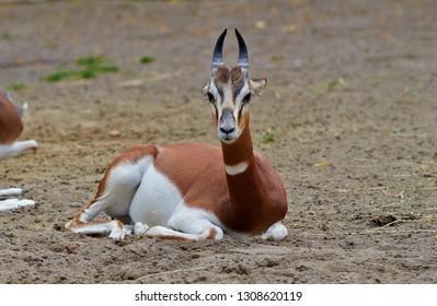 Portrait of dama gazelle, addra gazelle, or mhorr gazelle (Nanger dama, formerly Gazella dama), close up.