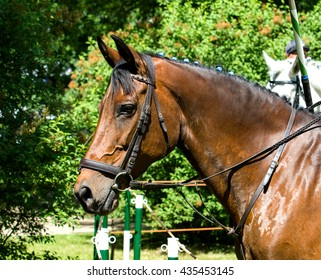 Portrait of dark bay draft horse