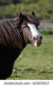 Portrait of dark brown pony.