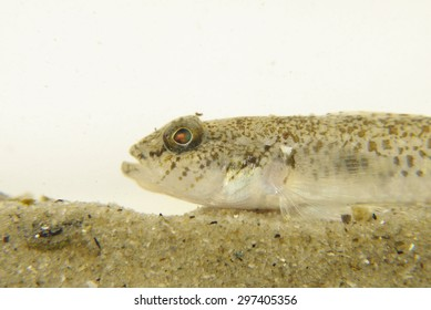 Portrait of a Dash Goby