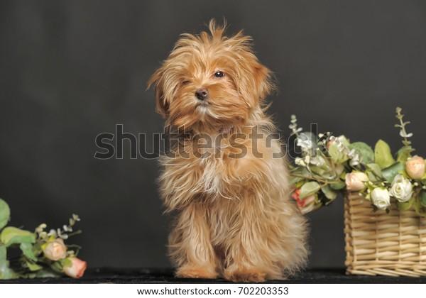 Portrait of a decorative dog  Petersburg orchid
