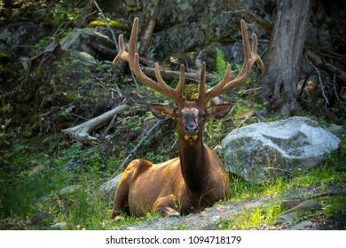 Portrait of deer with velvet antler