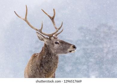 Portrait of a deer in winter season and snowing.