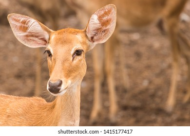 Portrait of eld's deer in the zoo