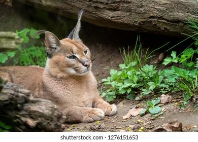 Portrait desert cats Caracal (Caracal caracal) or African lynx with long tufted ears