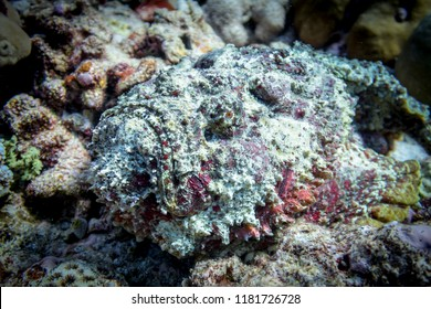 Portrait of disguising stonefish in all colors on the bottom in the Indian ocean