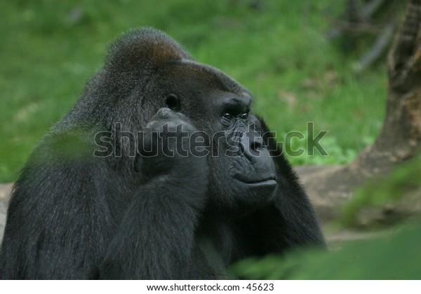 Portrait of disturbed gorilla holding its ears