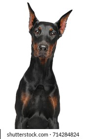 Portrait of Doberman dog isolated on white background