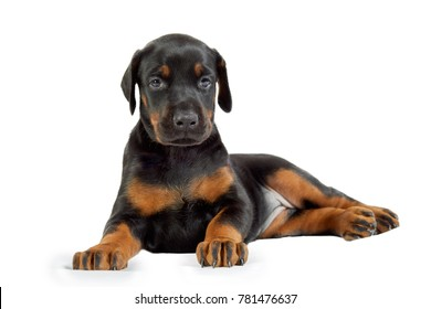 Portrait of doberman puppy isolated on white.