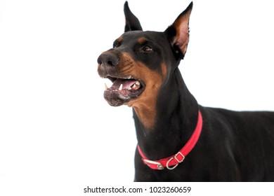 portrait of a Dobermann dog growls on a white background