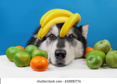 portrait of a dog with bananas on his head and apples on the tab