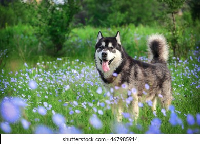 Portrait of dog breed Alaskan Malamute on a background of green grass and blue flowers.