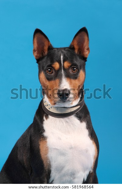 Portrait of a dog of breed of Basenji sitting on a blue background in a collar.