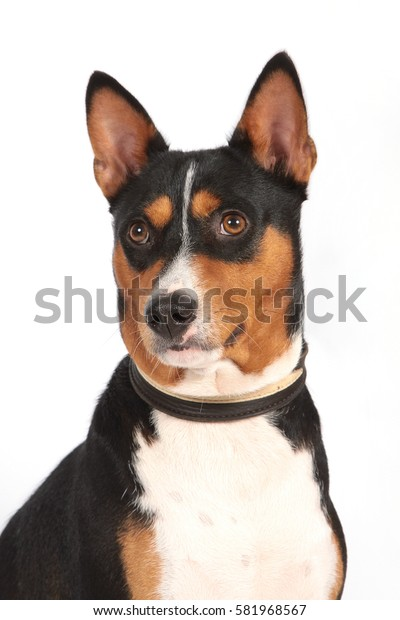 Portrait of a dog of breed of Basenji a white background in a collar.