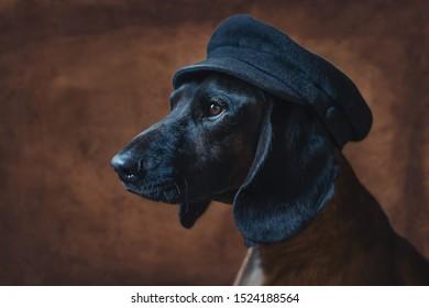 Portrait of a dog breed Bavarian mountain hound