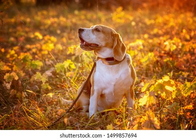 portrait of a dog breed Beagle in the autumn Park at sunset. Beagle on a background of bright yellow foliage
