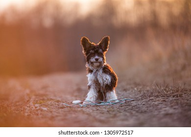 Portrait of a dog breed Biro yorkshire terrier sitting on the road