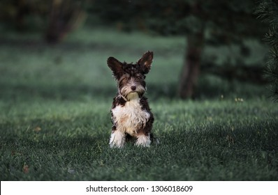 Portrait of a dog breed Biro yorkshire terrier sitting on the grass
