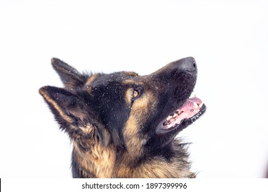 Portrait of a dog of breed German shepherd close up