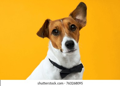 Portrait of a dog breed of Jack Russell with a male butterfly for clothes on the neck on a yellow background. Background for your text and design.