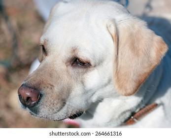 portrait of a dog breed Labrador