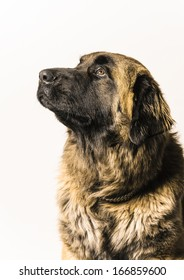 Portrait of a dog of breed Leonberger