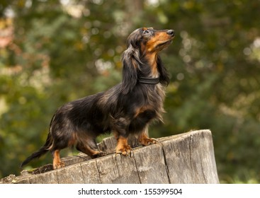 Portrait of dog breed long haired dachshund