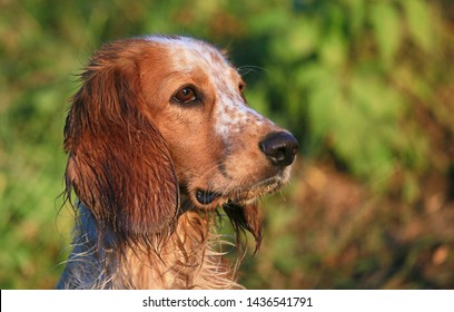 Portrait of a dog breed Russian hunting spaniel in nature