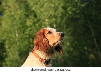 Portrait of a dog breed Russian hunting spaniel in the forest